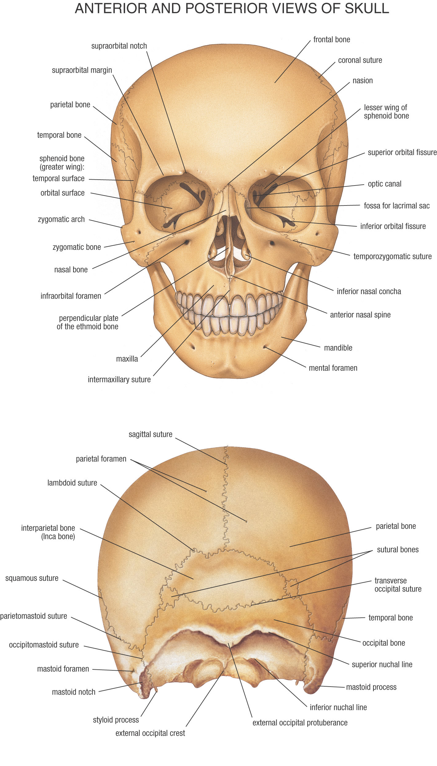 lateral view of skull sagittal section through skull muscular anatomyBack Of Skull Labeled