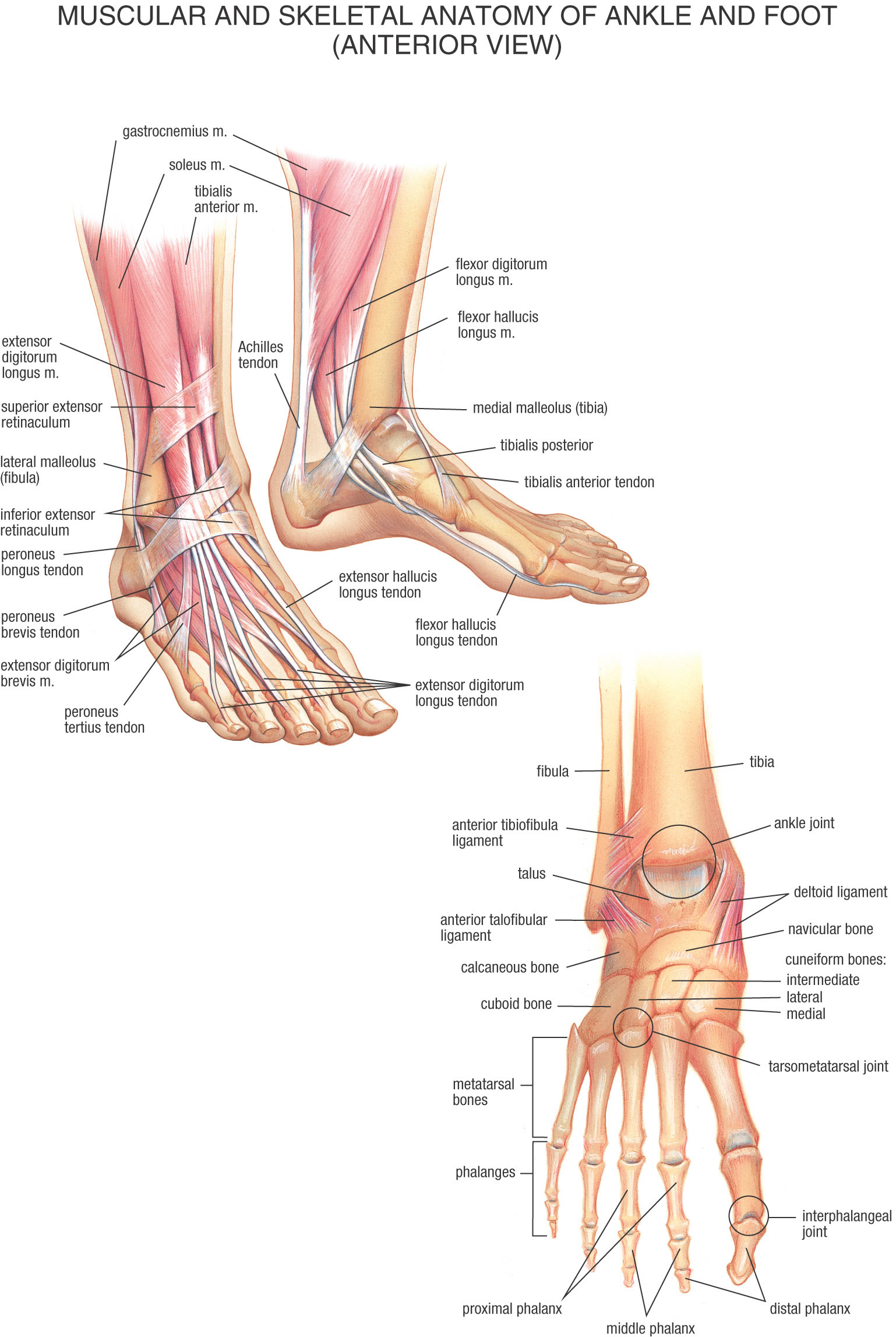 Skeletal anatomy of the foot